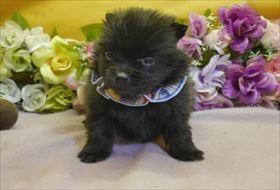 ポメラニアンの子犬(ID:1246711785)の2枚目の写真/更新日:2019-01-09