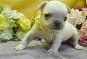 フレンチブルドッグの子犬(ID:1246711788)の2枚目の写真/更新日:2017-09-28