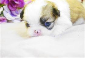 狆(チン)の子犬(ID:1246711789)の1枚目の写真/更新日:2017-09-28