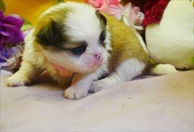 狆(チン)の子犬(ID:1246711789)の2枚目の写真/更新日:2017-09-28