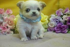 チワワ(ロング)の子犬(ID:1246711791)の1枚目の写真/更新日:2017-09-28