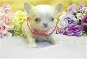 チワワ(ロング)の子犬(ID:1246711792)の1枚目の写真/更新日:2017-09-28