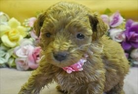 トイプードルの子犬(ID:1246711793)の1枚目の写真/更新日:2017-10-23