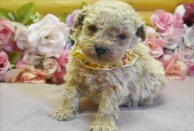 トイプードルの子犬(ID:1246711794)の1枚目の写真/更新日:2019-02-20
