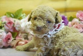 トイプードルの子犬(ID:1246711795)の1枚目の写真/更新日:2017-10-23