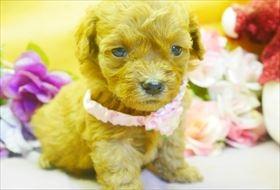 トイプードルの子犬(ID:1246711796)の1枚目の写真/更新日:2017-10-23