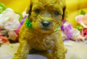 トイプードルの子犬(ID:1246711797)の1枚目の写真/更新日:2017-10-23