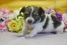パピヨンの子犬(ID:1246711799)の1枚目の写真/更新日:2017-10-23