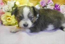 パピヨンの子犬(ID:1246711801)の1枚目の写真/更新日:2017-10-23