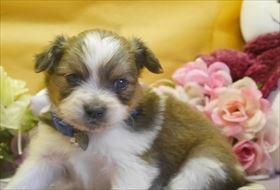 パピヨンの子犬(ID:1246711802)の1枚目の写真/更新日:2017-10-23
