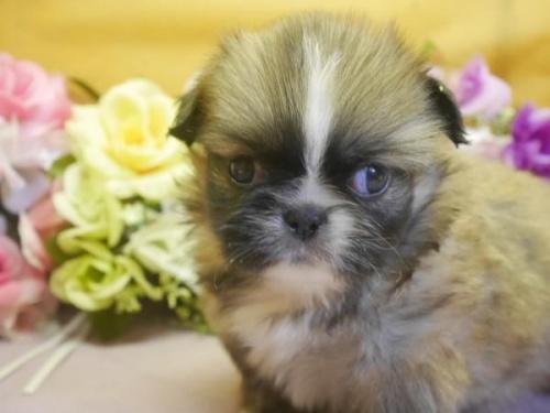 ペキニーズの子犬(ID:1246711803)の1枚目の写真/更新日:2017-11-10