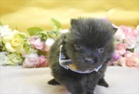 ポメラニアンの子犬(ID:1246711804)の1枚目の写真/更新日:2017-11-10
