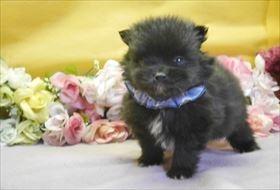 ポメラニアンの子犬(ID:1246711805)の1枚目の写真/更新日:2017-11-10