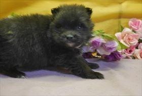 ポメラニアンの子犬(ID:1246711805)の2枚目の写真/更新日:2019-01-09