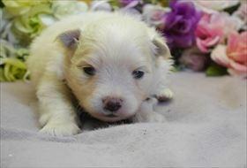 ポメラニアンの子犬(ID:1246711806)の1枚目の写真/更新日:2017-11-10