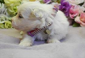 ポメラニアンの子犬(ID:1246711806)の2枚目の写真/更新日:2018-06-04