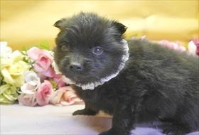 ポメラニアンの子犬(ID:1246711807)の1枚目の写真/更新日:2017-11-10