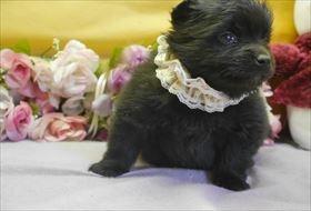 ポメラニアンの子犬(ID:1246711807)の2枚目の写真/更新日:2017-11-10