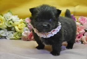 ポメラニアンの子犬(ID:1246711808)の1枚目の写真/更新日:2017-11-10