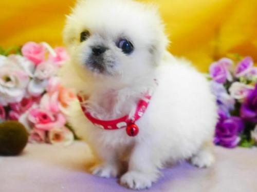 ペキニーズの子犬(ID:1246711809)の1枚目の写真/更新日:2017-11-10