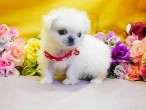 ペキニーズの子犬(ID:1246711809)の2枚目の写真/更新日:2017-11-10