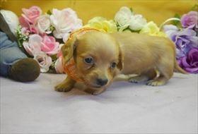 カニンヘンダックスフンド(ロング)の子犬(ID:1246711810)の2枚目の写真/更新日:2017-11-10