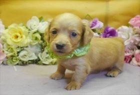 カニンヘンダックスフンド(ロング)の子犬(ID:1246711811)の1枚目の写真/更新日:2017-11-10