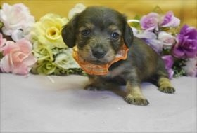 ミニチュアダックスフンド(ロング)の子犬(ID:1246711812)の1枚目の写真/更新日:2017-11-10