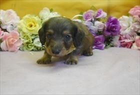 ミニチュアダックスフンド(ロング)の子犬(ID:1246711813)の1枚目の写真/更新日:2017-11-10