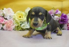 ミニチュアダックスフンド(スムース)の子犬(ID:1246711814)の1枚目の写真/更新日:2017-11-10