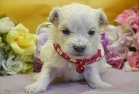 マルチーズの子犬(ID:1246711815)の1枚目の写真/更新日:2017-11-16