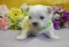 マルチーズの子犬(ID:1246711816)の1枚目の写真/更新日:2017-11-16