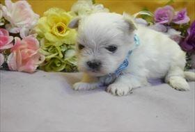 マルチーズの子犬(ID:1246711817)の1枚目の写真/更新日:2017-11-16