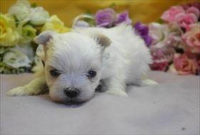 マルチーズの子犬(ID:1246711818)の1枚目の写真/更新日:2017-11-16