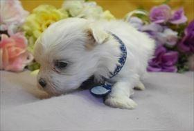 マルチーズの子犬(ID:1246711819)の1枚目の写真/更新日:2017-11-16