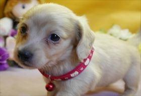 カニンヘンダックスフンド(ロング)の子犬(ID:1246711820)の1枚目の写真/更新日:2017-11-27