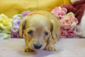 カニンヘンダックスフンド(ロング)の子犬(ID:1246711821)の1枚目の写真/更新日:2017-11-27