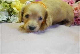 カニンヘンダックスフンド(ロング)の子犬(ID:1246711821)の2枚目の写真/更新日:2017-11-27