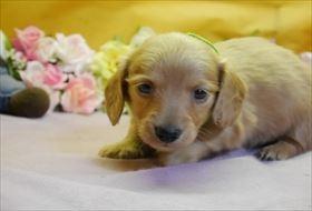 カニンヘンダックスフンド(ロング)の子犬(ID:1246711822)の1枚目の写真/更新日:2017-11-27