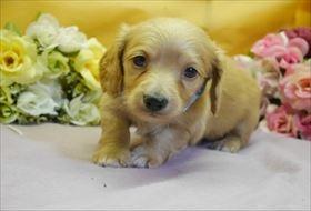 カニンヘンダックスフンド(ロング)の子犬(ID:1246711823)の1枚目の写真/更新日:2017-11-27