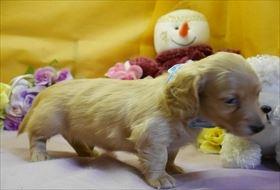 カニンヘンダックスフンド(ロング)の子犬(ID:1246711823)の2枚目の写真/更新日:2017-11-27
