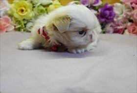 狆(チン)の子犬(ID:1246711824)の1枚目の写真/更新日:2017-11-27