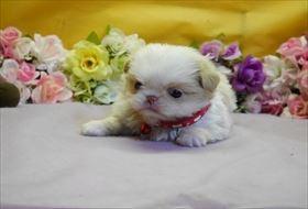 狆(チン)の子犬(ID:1246711824)の2枚目の写真/更新日:2017-11-27
