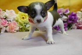 チワワ(スムース)の子犬(ID:1246711825)の1枚目の写真/更新日:2017-11-27