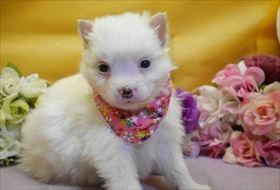 ポメラニアンの子犬(ID:1246711826)の1枚目の写真/更新日:2017-12-11