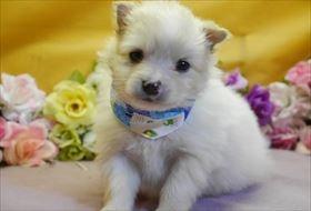 ポメラニアンの子犬(ID:1246711827)の1枚目の写真/更新日:2017-12-11