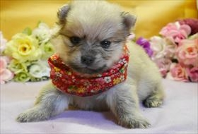 ポメラニアンの子犬(ID:1246711828)の1枚目の写真/更新日:2017-12-11
