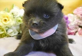 ポメラニアンの子犬(ID:1246711830)の1枚目の写真/更新日:2017-12-11