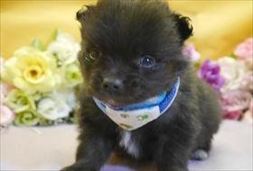 ポメラニアンの子犬(ID:1246711831)の1枚目の写真/更新日:2017-12-11