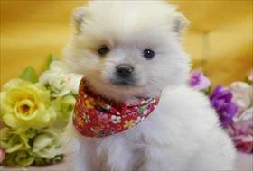 ポメラニアンの子犬(ID:1246711832)の1枚目の写真/更新日:2017-12-11